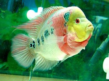 【风水鱼类】罗汉鱼的风水学应用